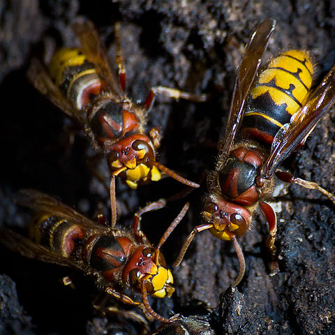Hornets | Removed | Hives | Nests | Extermination | Pests